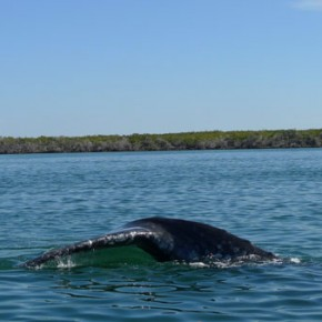 Mexico Rediscovered: Whale Watching in Magdalena Bay….Wait,What?